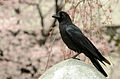 Large-billed Crow (Corvus macrorhynchos) Tokyo.jpg
