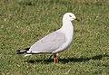 Larus novaehollandiae (Silver Gull).jpg