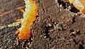 Larva of a beetle of the family of Fire-Coloured Beetle Pyrochroidae Lamiot 08.JPG