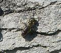 Lasioglossum. Morio group - Flickr - gailhampshire.jpg