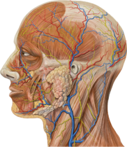 Lateral head anatomy detail.png