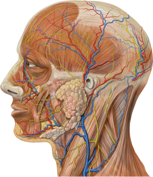 Greater occipital nerve - Image: Lateral head anatomy detail