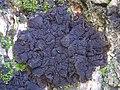 Lathagrium auriforme 316701.jpg