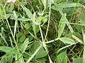 Lathyrus latifolius Brede lathyrus DSCF0407.JPG