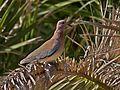 Laughing Dove (Streptopelia senegalensis), Maguez, Lanzarote (5357073174).jpg
