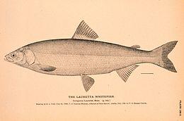 Lauretta whitefish