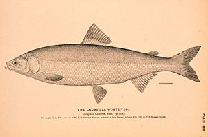 Bering cisco - Illustration from The Natural History of Useful Aquatic Animals
