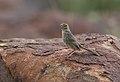 Lazy cisticola, Cisticola aberrans on the Kransberg at Marakele National Park, Limpopo, South Africa (23854950010).jpg