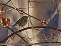 Lemon-rumped Warbler (Phylloscopus chloronotus) (16404977491).jpg