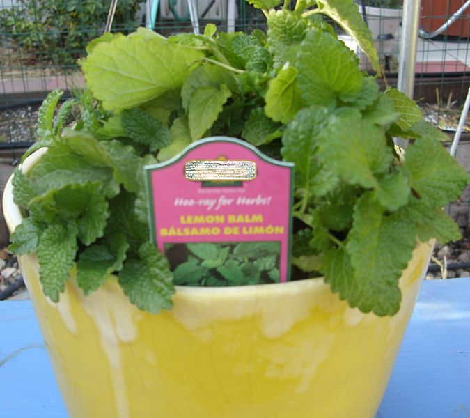 File:Lemon Balm Plant.jpg