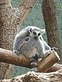 Lemur-Katta-2.jpg