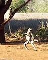 Lemur Standing Up.jpg