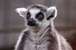 Lemur catta, Asahiyama Zoo, Japan.jpg