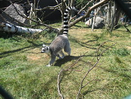 Lemur walking.jpg