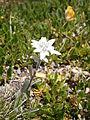 Leontopodium alpinum002.jpg