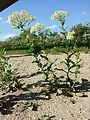 Lepidium draba (subsp. draba) sl3.jpg