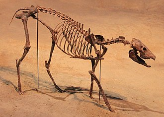 Leptomeryx - Mounted skeleton