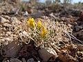 Lesquerella alpina (7275598416).jpg