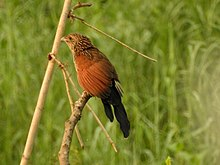 Lesser coucal പുല്ലുപ്പൻ from Kole Wetlands DSCN9697.jpg