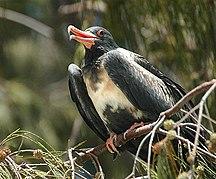 Adele Island--Lesser frigatebird lei