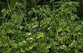 Lestes dorothea-Kadavoor-2018-08-11-001.jpg