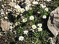 Leucanthemopsis alpina002.jpg
