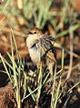 Levaillant's Cisticola, Cisticola tinniens at Suikerbosrand Nature Reserve, Gauteng, South Africa (14982695497).jpg