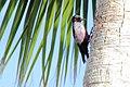 Lewis's Woodpecker (Melanerpes lewis) (13853482103).jpg