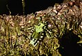 Lichen katydid Trachyzulpha sp. (24900579029).jpg