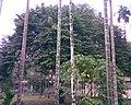 Lichi Tree.jpg