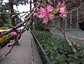 Light Pink - panoramio.jpg