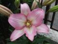 Lilium L.A. Hybrid Samur.jpg