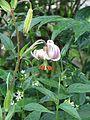 Lilium cf. ledebourei - Flickr - peganum (11).jpg