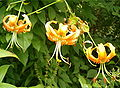 Lilium henryi Inflorescence BotGardBln0806b.jpg