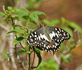 Lime Butterfly (Papilio demoleus) at Hyderabad W 178.jpg