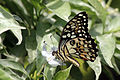 Lime butterfly (Papilio demoleus malayanus) male Changi Point S.jpg