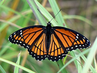 Viceroy (butterfly) - Typical viceroy, co-mimic of the monarch