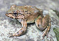Limnonectes macrocephalus from Dipagsanghan - ZooKeys-266-001-g031.jpg