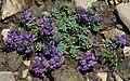 Linaria alpina 2 RF.jpg