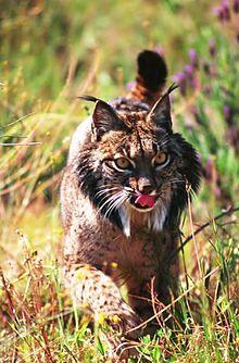 Le Lynx d'un autre temps dans LYNX 220px-Lince_Ib%C3%A9rico_Do%C3%B1ana