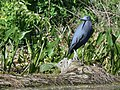 Little Blue Herons (33512768693).jpg