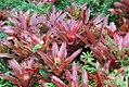 Livistona robinsoniana 2zz.jpg
