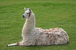 "A Llama lying down, also called ""kushing&..."