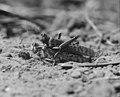 Locust burying eggs in the sand Palestine 1930.jpg