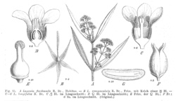 Logania spp EP-IV2-015.png