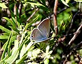 Long-tailed Blue. Female. Lampides boeticus - Flickr - gailhampshire.jpg