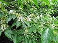 Lonicera maackii (Amur Honeysuckle).jpg