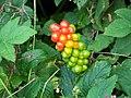 Lords and Ladies (Arum maculatum) - geograph.org.uk - 888286.jpg