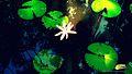 Lotus star.jpg