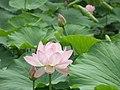 Lotuses (28894659705).jpg